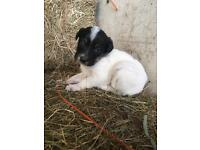 Quick sale for Jack Russell Pups!!!
