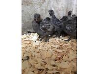 Bluebelle Hens