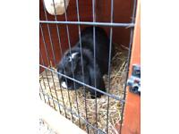 Giant french lop Buck ( male ) rabbit