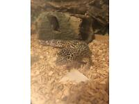 Male leopard gecko and FULL SET UP for sale