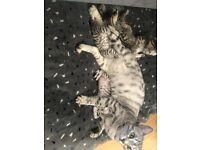 Stunning bengal kittens