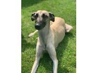 Whippet greyhound bedlington puppies
