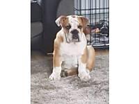 kc reg male British bulldog