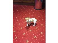 Miniture jack Russell girl puppy for sale