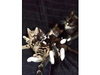 3 beautiful kittens left for sale