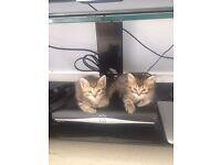 Rare Unique Kittens Available