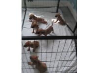 Beautiful Rhodesian Ridgeback puppies only 5 left