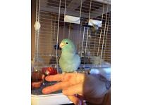 Blue celestial parrotlet and large vision cage +stand