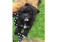 Shih tzu cross Pomeranian pups