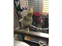 Young Male cockatiel and large cage loves to sing wolf whistles all the time