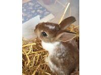Baby Male Netherland Dwarf Rabbit