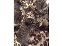 Blue eyes male kitten available