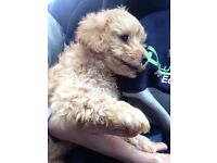 Apricot Toy poodle pup