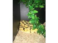 Ball python bumble bee morph + everything you need