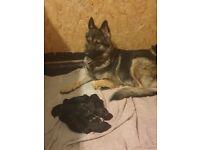 Male full german Sheppard puppies