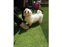 Kc Registered Male Maltese Dog
