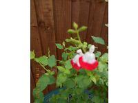 Salvia Bush Shrub /Plant Hot Lips