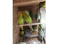 3 new unused cage, Beautiful Best Quality Budgies from 4 months to 1 year old