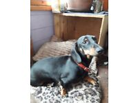 Dachshund bitch pra hereditary clear. To pet home only not kc