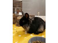 5 month old sweet male Black lionhair/lop rabbit fully vacinated