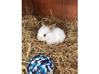 Lop eared bunnies