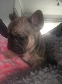 French bull dogs 2xfawn girls 1xblk tan boy all Qaud cary my insta john french