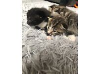 3 gorgeous chunky kittens for sale