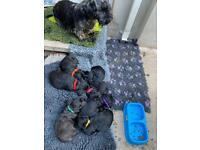 Rare breed Cesky terrier kc reg bitch puppies