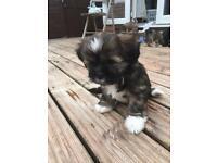 Lhasa apso puppies