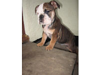 English British Bulldog Puppies ready to leave now