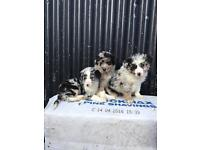 3 blue Merle collie pups for sale