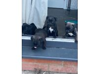 Kc registered platinum pug puppies