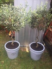 2 x twisted stemmed olive trees