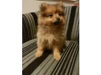 Little Pomeranian Girl