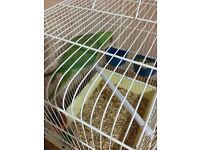 BABY INDIAN RINGNECK PARROT WITH CAGE