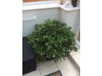 Large indoor money tree plant in pot selling due to house move
