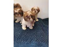 Shihtzu puppys