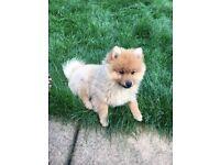 miniature Pomeranian puppy for sale