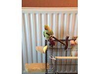 Alexandrine parakeet calm bird 1.5 years old
