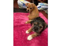 Bichon Frise X Chorkie Puppies