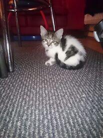 Half bengal kittens