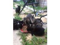 Kittens for sale £30