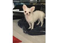 Chihuahua long coat bitch
