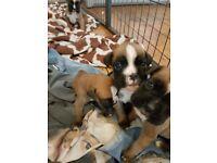 K.c reg puppies for sale