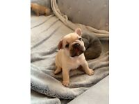 6 gorgeous female French bulldog pups for sale