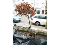 Bay tree and pot FREE will grow green in summer