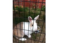 Beautiful female rabbit for sale