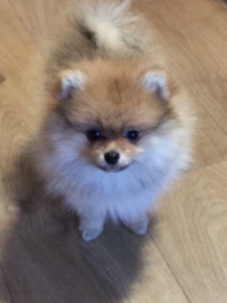 Pomeranian Puppy girl (orange) | in Harrow, London | Gumtree