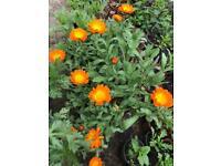 English marigold flower plants