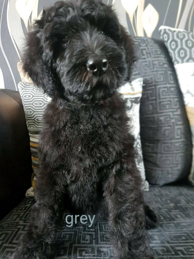 Giant Schnoodle Puppies In Huddersfield West Yorkshire Gumtree